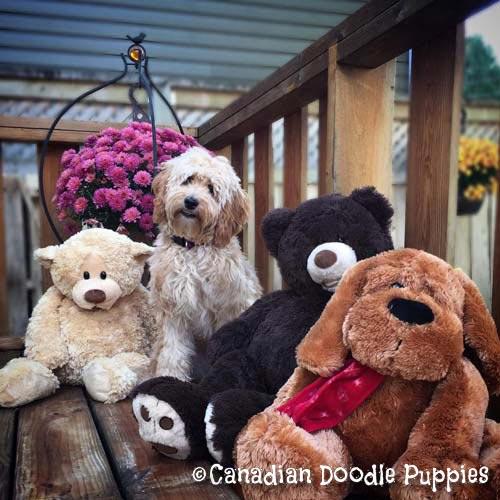 Our Doodle Friends – Canadian Doodle Puppies