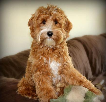 Canadian Doodle Puppies – Canadian Doodle Puppies